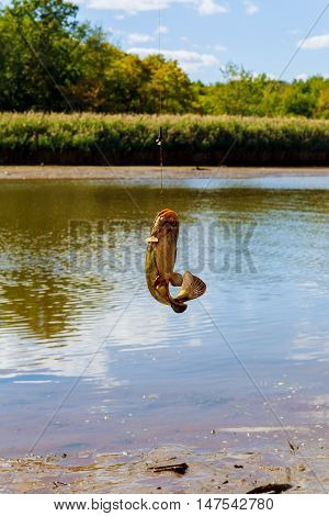 Catfish Caught on fishing caught catfish river