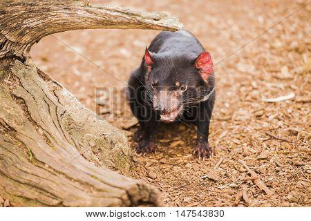 Tasmanian Devil In Hobart, Tasmania.