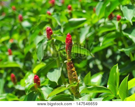 Red ginger or Alpinia purpurata, a kind of flowering plant native in Malaysia and national flower of Samoa