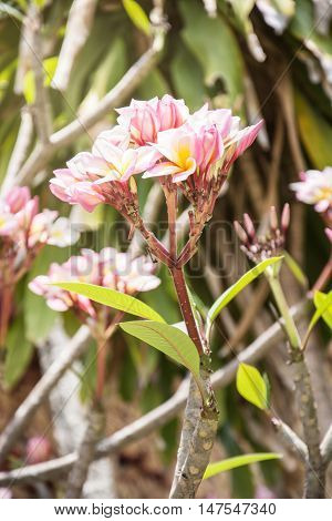 Plumeria frangipani flowers in nature, Frangipani for background