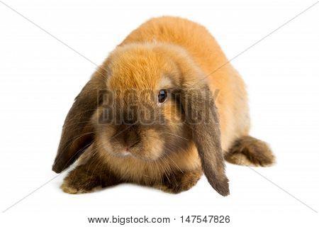 Baby of orange rabbit isolated on white background