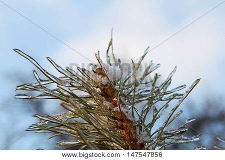 pine branches with ice and snow winter nature background