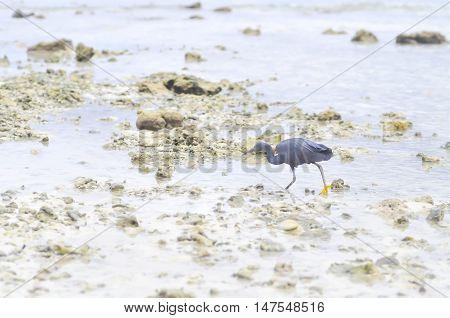 Pacific Reef Egret or Egretta sacra bird on the beach