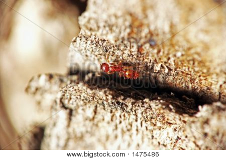red ant on a tree bark extreme depth of field poster