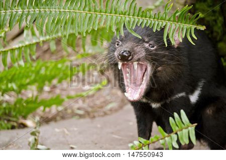 the tasmanian devil has his mouth open and bearing his teeth