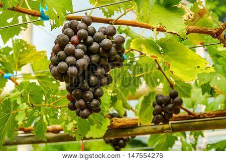 Bunches of Marroo Seedless Grapes on the vine in Vineyard