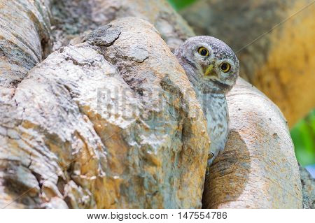 Little Owl in tree hole, natural animal in the jungle