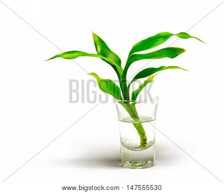 Dracaena braunii. plants in flower glass on white background.