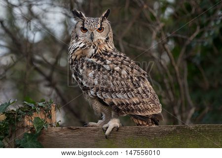 An alert Eurasian eagle owl, Bubo bubo, perched on a wooden fence staring towards the camera