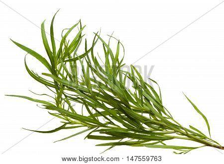 Fresh tarragon twigs isolated on white background