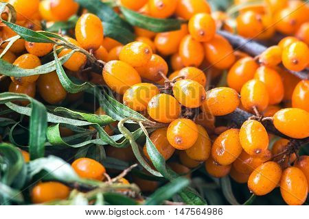 Background bright orange yellow sea buck thorn berries on the branch with green leaves (Hippophae Rhamnoides). Healthy snack alternative herbal medicinal product. Perennial shrub. Natural background
