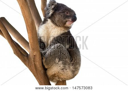 Australian koala bear isolated with copyspace for slogan or text message