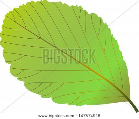 rowan leaf , rowan , illustration rowan leaf ,