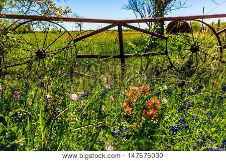 A Meadow at a Ranch with Rod Iron Gate with Wagon Wheel and Dry Round Hay Bales of Texas Grasses used to Feed Cattle Near Various Fresh Texas Wildflowers in Spring Including Indian Paintbrush and Texas Bluebonnets.