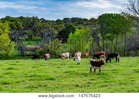 Texas Longhorn Cattle Grazing in a Pasture in Texas with a Couple of Calves.