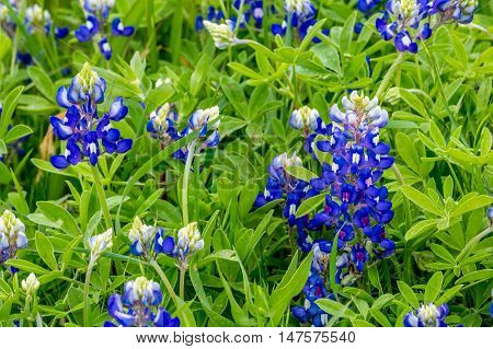 A Closeup of a Cluster of the Famous Texas Bluebonnet (Lupinus texensis) Wildflowers. poster