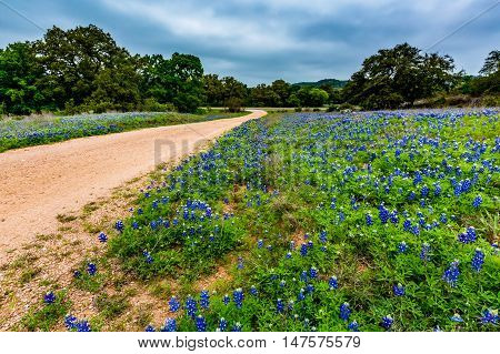 Beautiful Roadside Covered with the Famous Texas Bluebonnet (Lupinus texensis) Wildflowers.