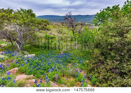 Famous Texas Bluebonnet (lupinus Texensis) Wildflowers.