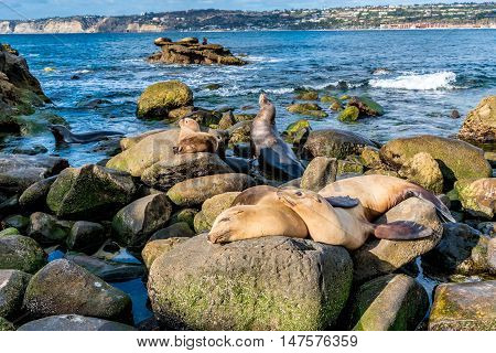 Sea Lions On The Pacific Ocean Coastline In California