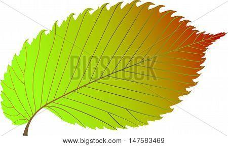elm , elm leaf ,elm leaf illustration ,
