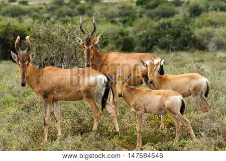 The Family - Alcelaphus buselaphus caama - The red hartebeest is a species of even-toed ungulate in the family Bovidae found in Southern Africa.