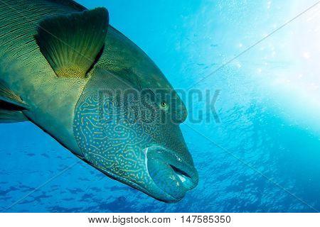 Big Napoleon Fish in the red sea