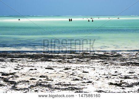 People And Seaweed In The  Blue Lagoon   Of Zanzibar Africa