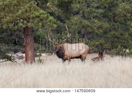 a bull elk stands over bedded cow during the fall rut