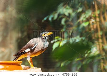 Common Myna, indian bird (Acridotheres tristis) .