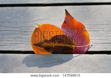 Multicolored leaves macro view. Fall autumn concept. Orange yellow brown aspen leaves on the wooden gray background. Close up.