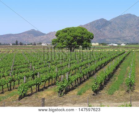 Grape Farm, Western Cape South Africa