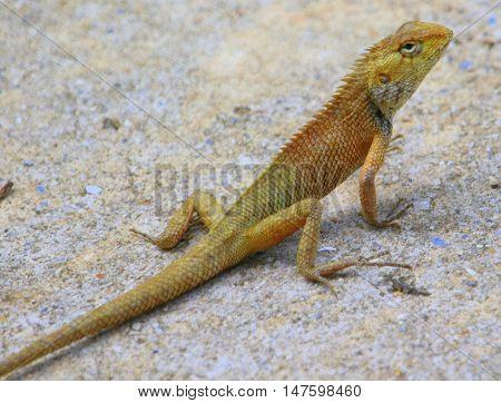 Oriental Garden Lizard on access road south of Songkhla, Thailand