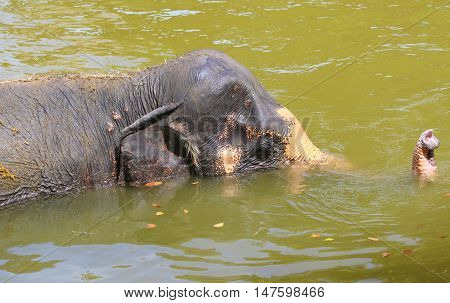 partially submerged female Asian Elephant with end of trunk above water, zoo pool near Songkhla, Thailand
