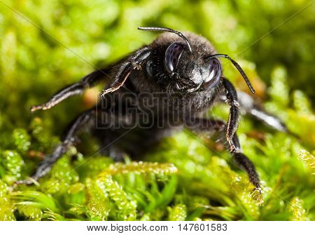 Macro front view of European carpenter bee (Xylocopa violacea) in aggressive pose over green moss background