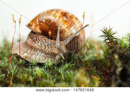 Macro of Burgundy snail (Helix pomatia) hidden in forest floor low angel view