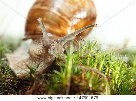 Macro Of Escargot In Moss