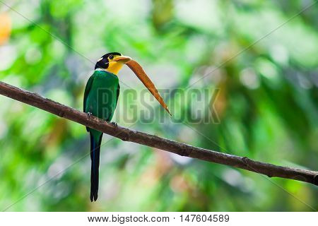 long tailed broadbill and bamboo leaf in nature
