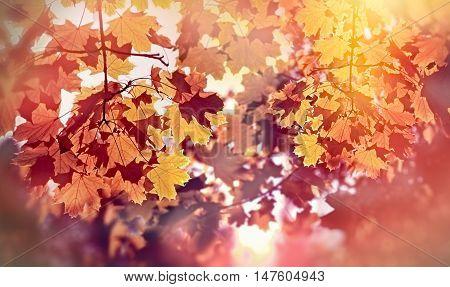 Beautiful autumn tree lit by sun rays - beautiful autumn leaves