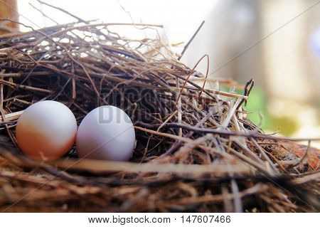 Bird's nest with two eggs, made with small twigs