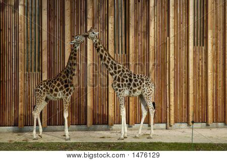 Giraffe in Parc de la Tete-d`Or (zoo). Lyon France. poster