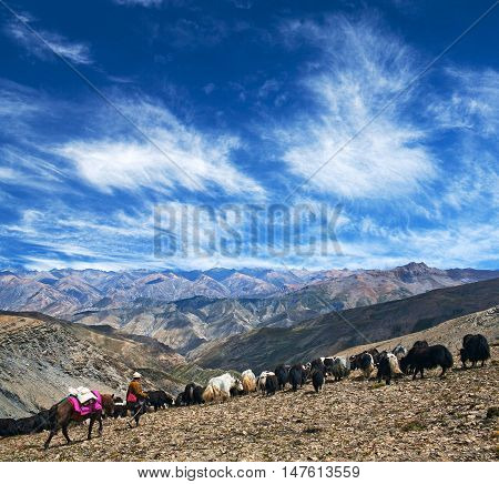 Herd of yaks walking across Shey La pass in Dolpo region in the Nepal Himalaya