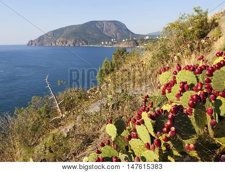 Opuntia Berries at Cape Plaka. Crimea. Russia.