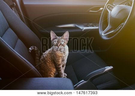 Adorable cat is sitting inside a car on the drivers seat looking at the camera. Devon rex cat likes to travel in a car. Light flare effect. Travel with pets. Cat with curiosity expression