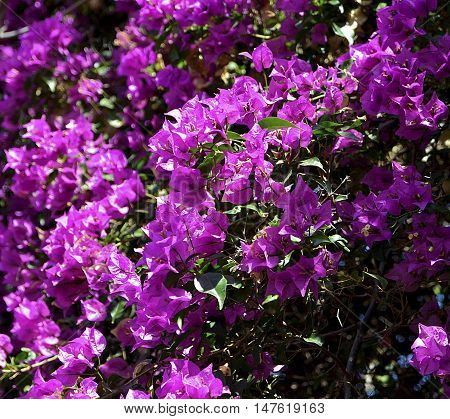 Blooming Bougainvillea flowers close up.Selective focus. Floral background.