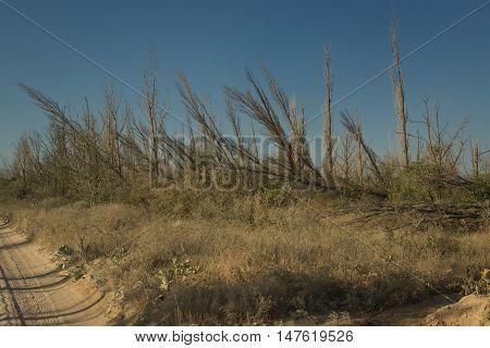 Lifeless Forest.  Dolzhanskaya Spit, Krasnodar Region, Russia.