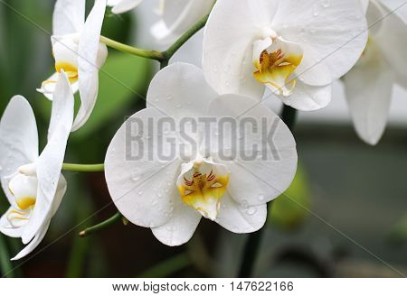 Branch of white orchids, yet colorful with yellow culprit.