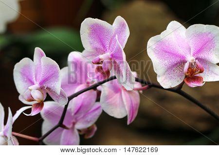 Splendid fresh elegant light pink orchid flower.