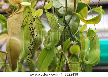 Nepenthes alata is a tropical pitcher plant endemic to the Philippines. It is carnivorous and uses its nectar to attract insects that drown in the pitch and are digested by the plant.
