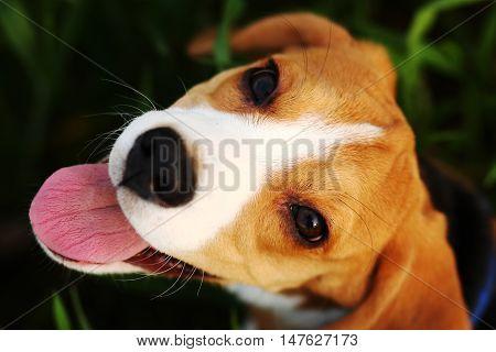 Puppy Beagle Portrait