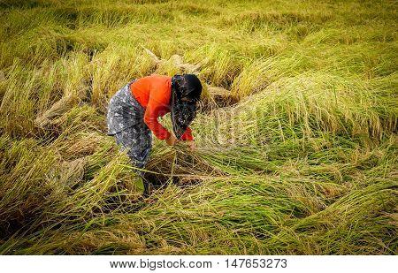 Old farmer working on rice plantation